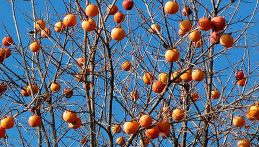 Ripe persimmons on a tree.