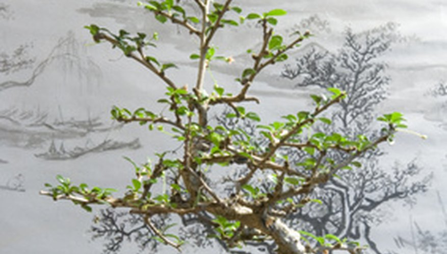 Bonsai trees are miniature versions of natural-sized trees.