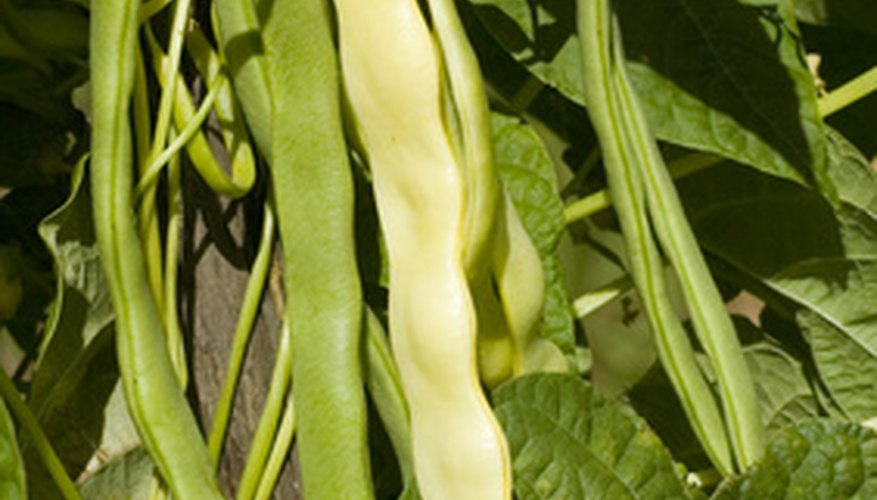 Harvest pole beans from the bean plants.