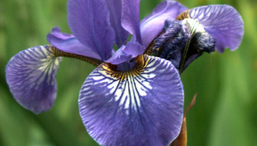 Siberian irises grow taller in bog-like conditions.