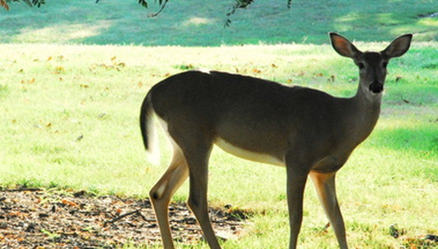 Deer are a beautiful wildlife specimen but have become a garden pest.