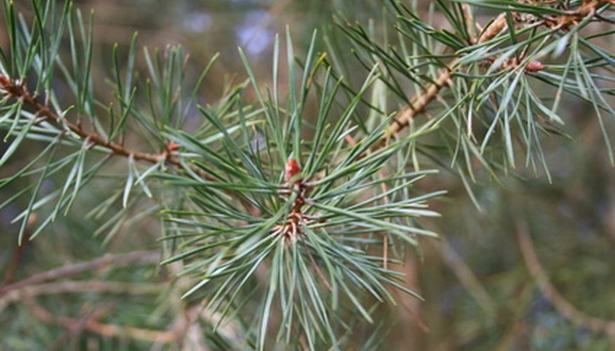 A pine, with needles in bundles