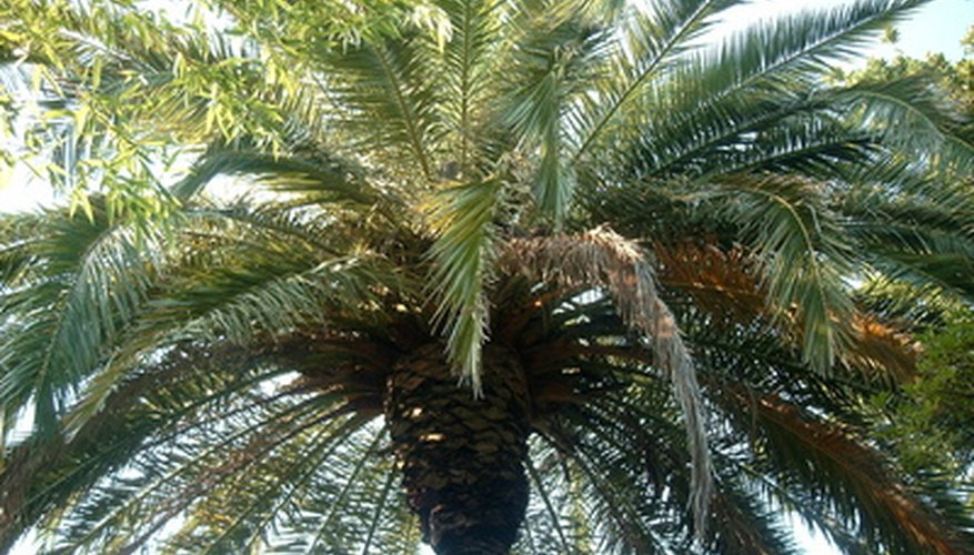 Growing palm trees from seed is challenging but worth the effort.