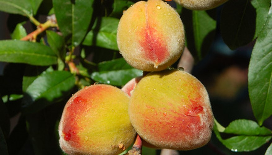 Many peach varieties grow well in Central Texas.