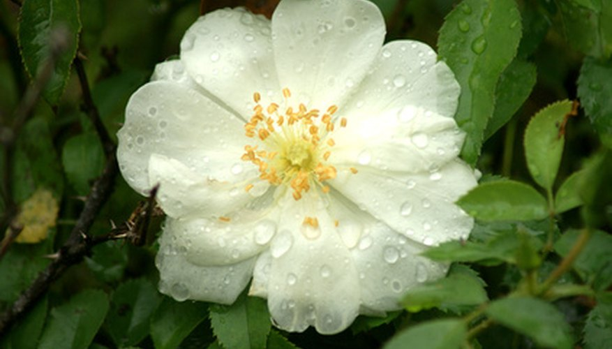 Climbing iceberg roses are perfect for rambling over arbors, fences and trellises in shady spots.