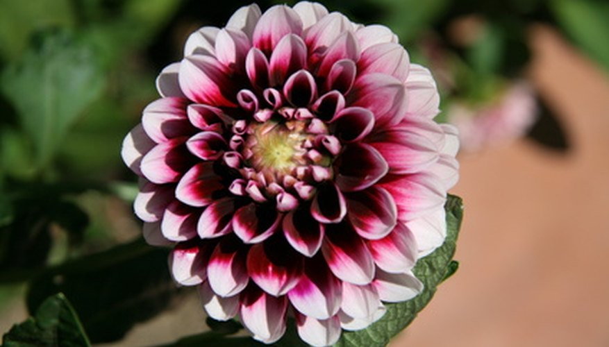 This multicolored dahlia flower includes various white, pink and red pigmentation.