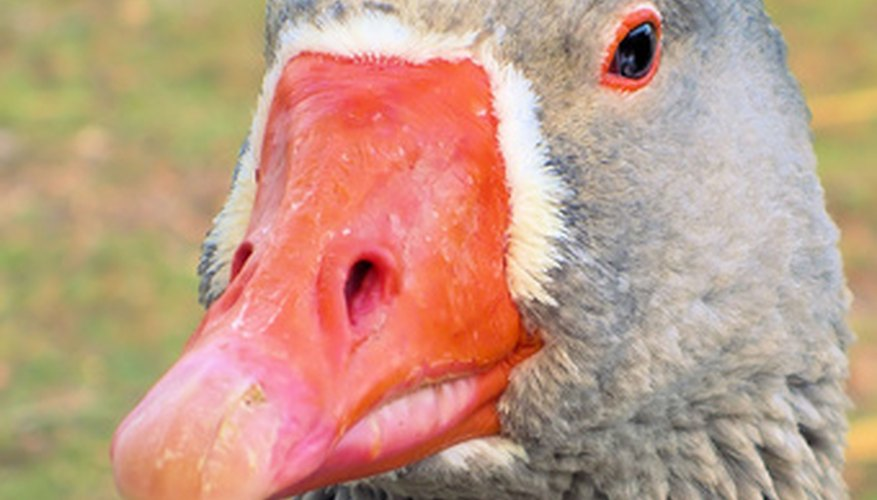 La página web Avian Web enumera 52 razas de estos animales en todo el mundo.