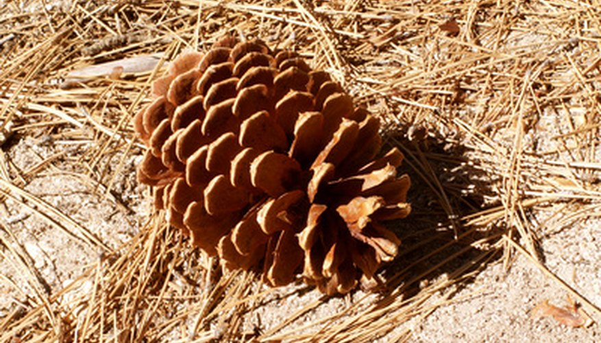 A pine cone matures, detaches and falls to the ground.