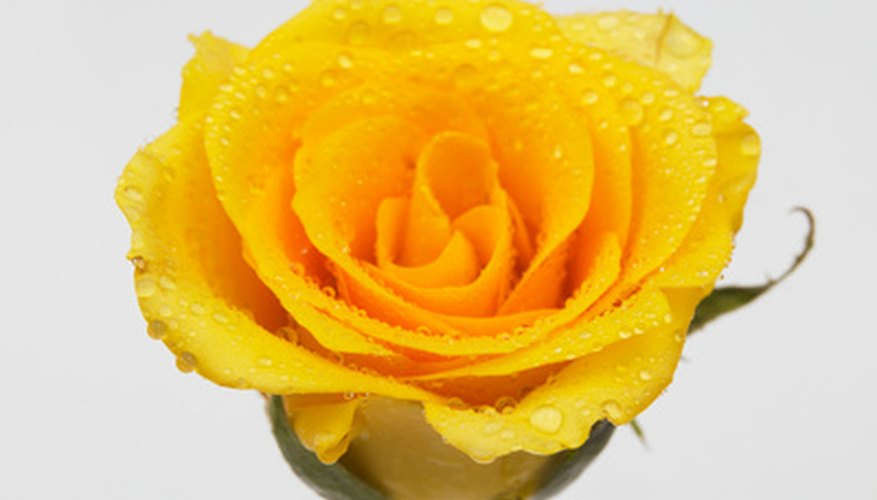Yellow roses were originally found in the Middle East.