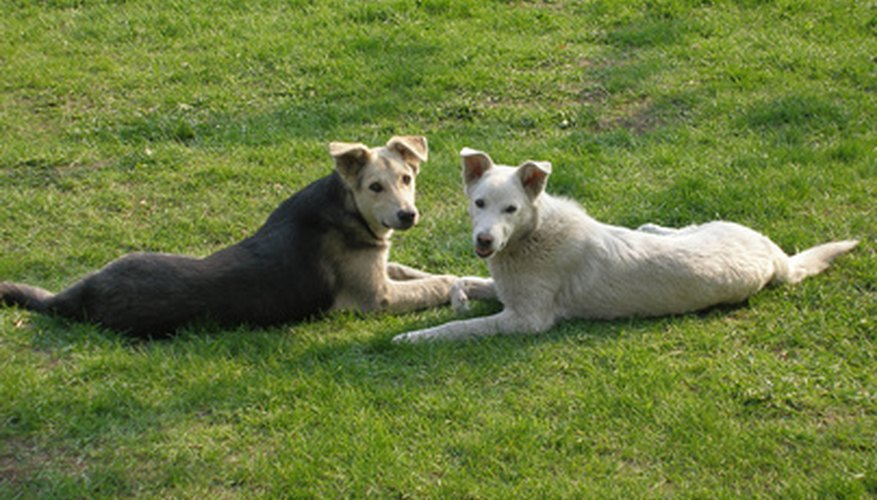 Dogs love rolling on, licking and eating lawn grass.