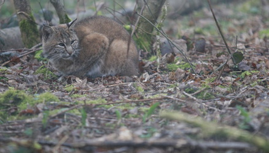 The bobcat is stealthy and tries to blend into its background.