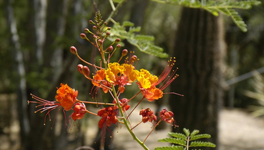 The Caesalpinia pulcherrima is also called the bird of paradise.
