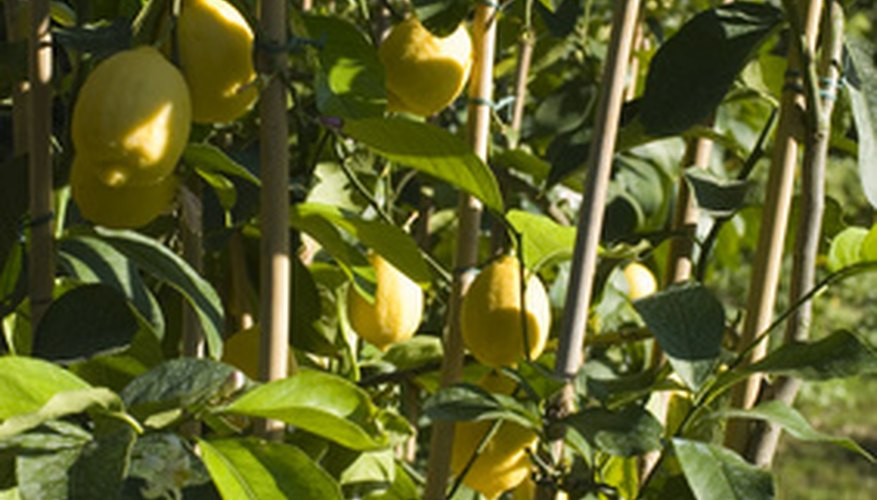 Lisbon lemon trees have upward-reaching thorned branches.
