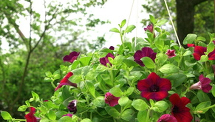 Blooming petunias in a hanging container.