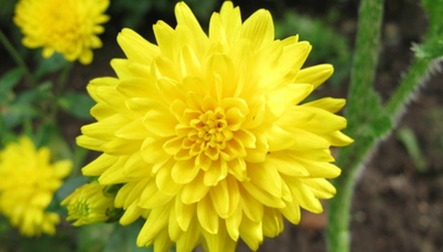 Chrysanthemums are common additions to fall bouquets.