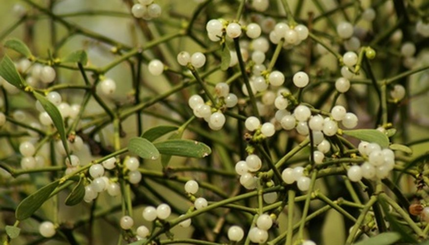 Mistletoe with white berries.