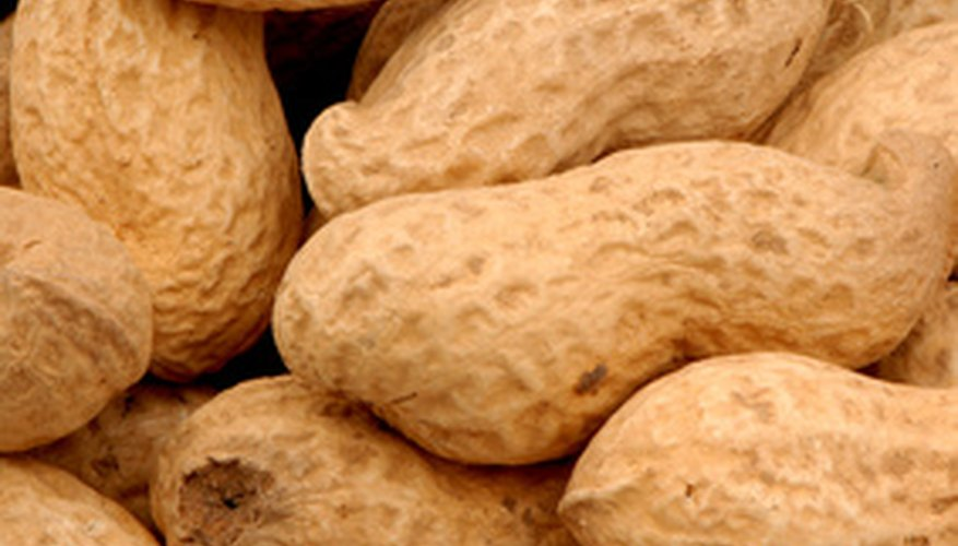 Peanuts are the only nuts that develop underground.