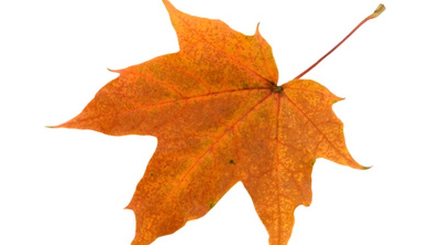 Most maples feature a palmate leaf.