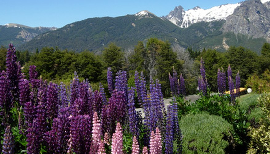 Lupins provide a beautiful and unique look to any setting.