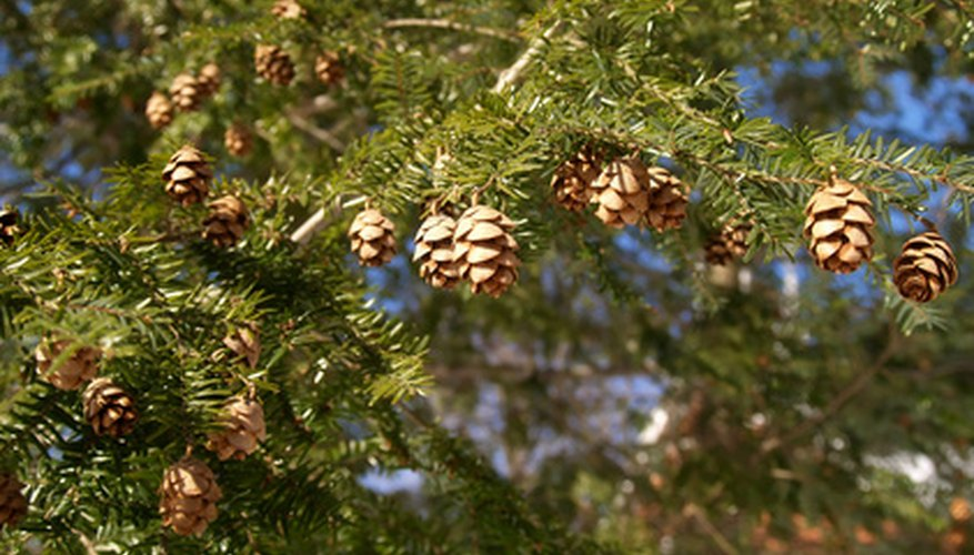 Hemlock cones work well in potpourri along with dried flowers because they are small.