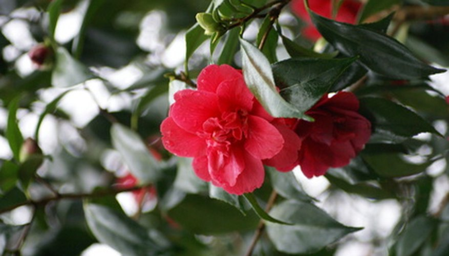 Camellias commonly appear in shades of red, pink, and white, but there are also yellow and purple varieties.