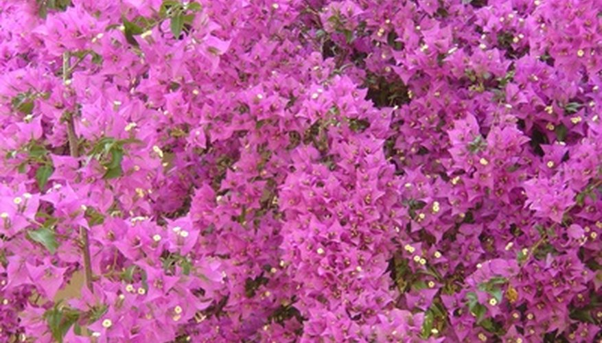 Flowering shrubs display blossoms and are sometimes covered in an abundance of blooms.