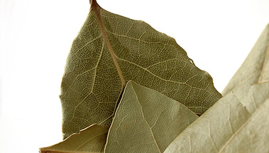 Bay laurel is the source of bay leaves, a popular culinary seasoning.