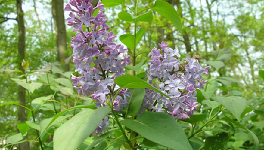 Early summer blooms on a lilac bush.