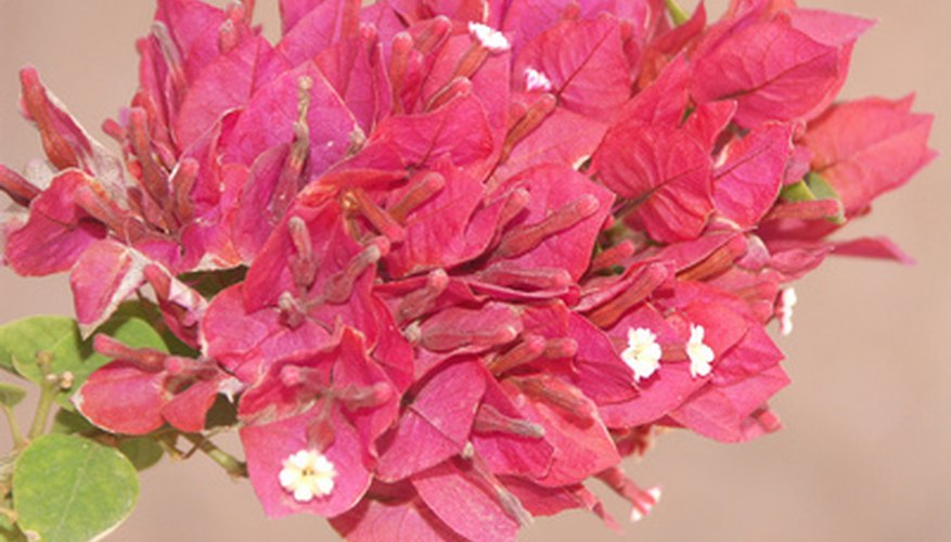 Facts on bougainvillea flowers garden guides the bougainvillea also known as the paper flower plant is a flowering perennial plant the plant is native to south america and is named for a french mightylinksfo