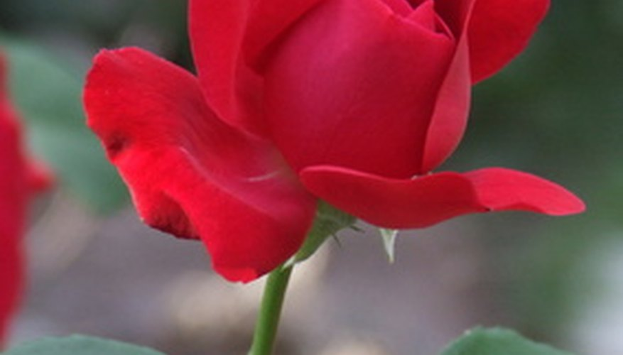 Many roses were bred to create a perfect flower form.