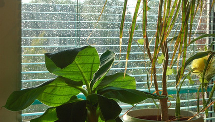 Several types of indoor plants, such as the corn plant on the right, are susceptible to chlorine and fluorine in most municipal water supplies.