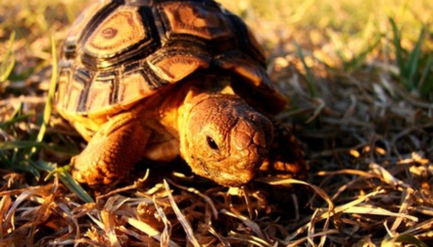 Las tortugas sobreviven en el desierto comiendo plantas del desierto.