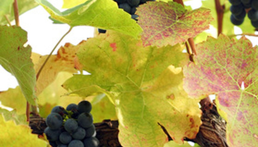 Grape vines are prone to many diseases, pests and other problems.