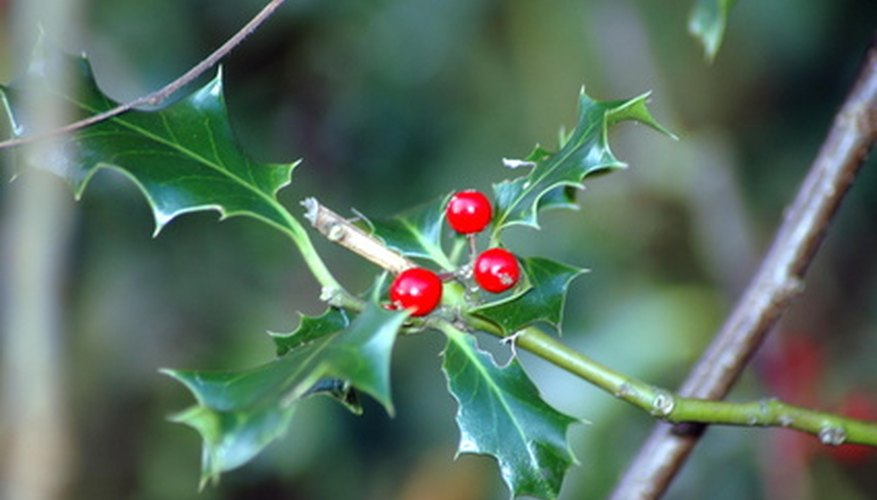 Different species of holly trees require different conditions to thrive.