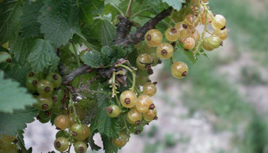 White currants are similar to what Lewis found.