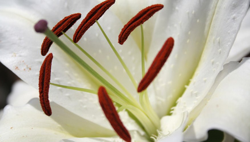 The pristine white 'Casablanca' lily can be identified by its trumpet shape and strong, sweet fragrance.