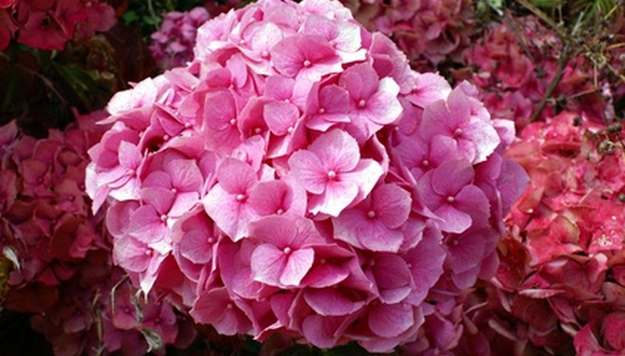 Hydrangeas produce large blossoms.