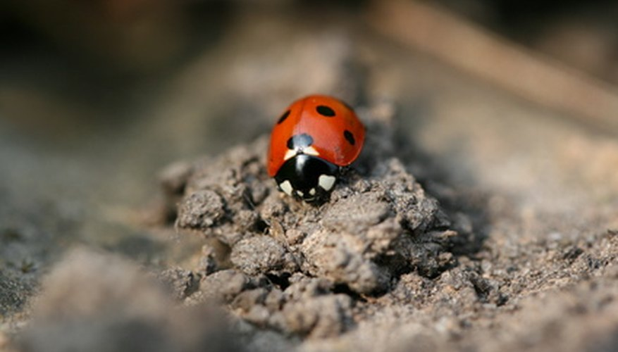 The ladybug is sitting on clay soil.