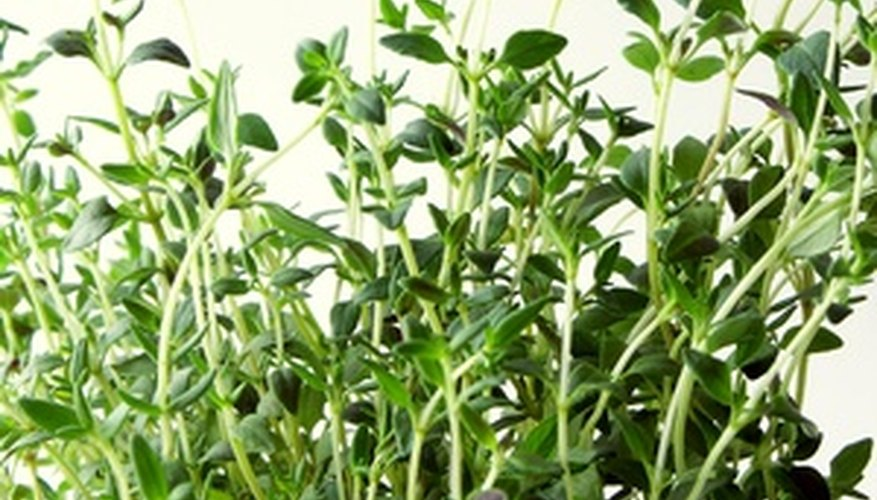 Thyme is a fragrant ground cover.
