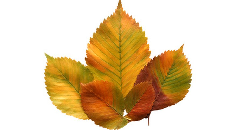 Elm leaves possess distinct veins