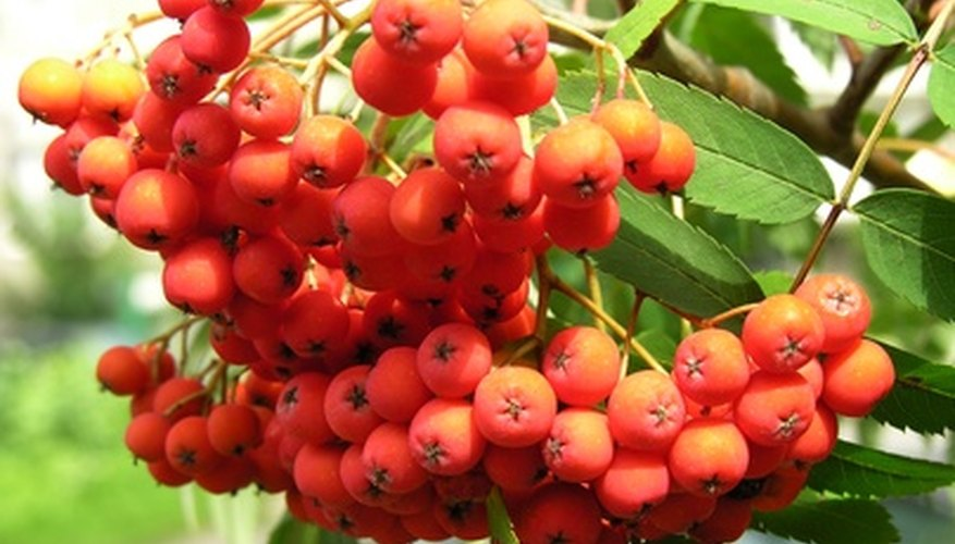 Fruit of the rowan tree.