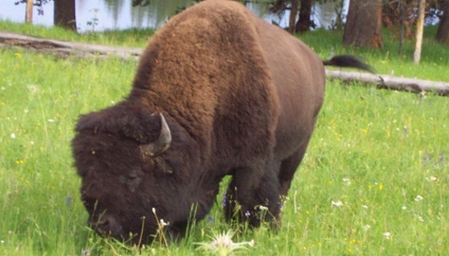 Buffalo in grass.