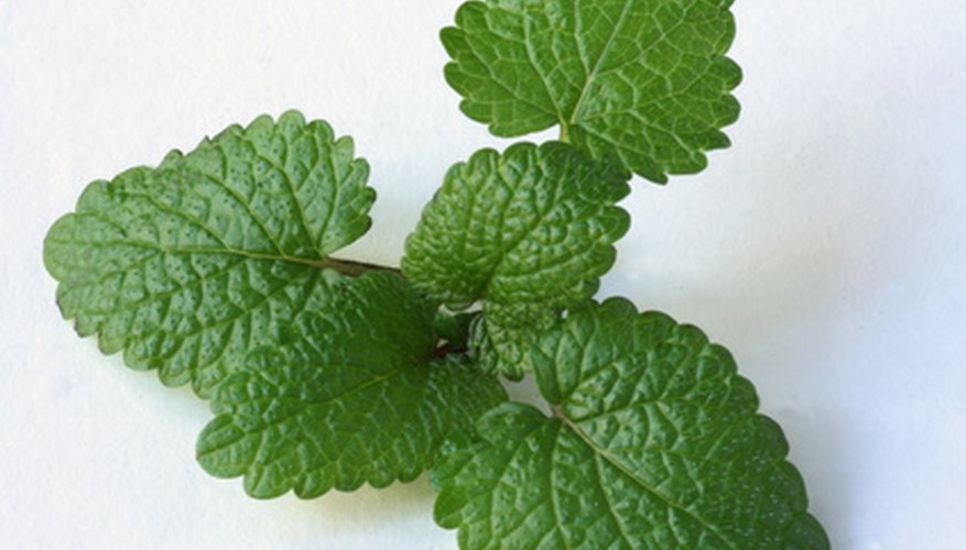 Lemon balm is used for insomnia.