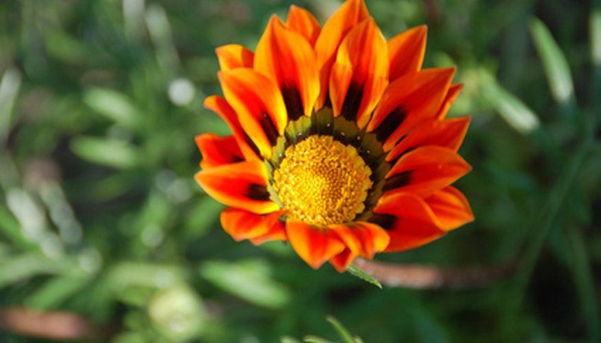Plant gazania daisies as a flowering annual.