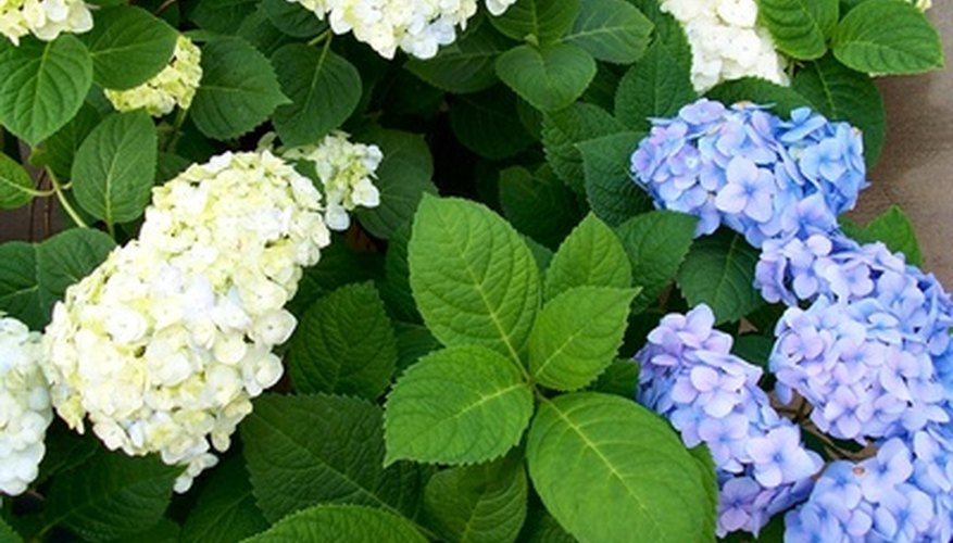Hydranges bloom in white, pink, blue and purple.