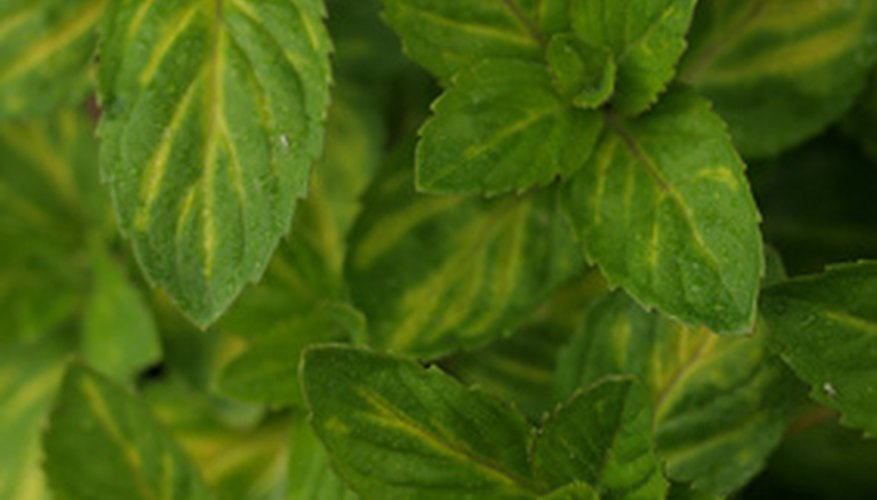 Mint is widely used as a garnish for desserts.