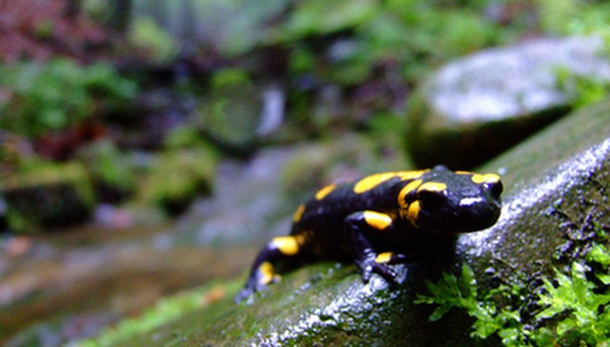Salamanders thrive in many wetland ecosystems.