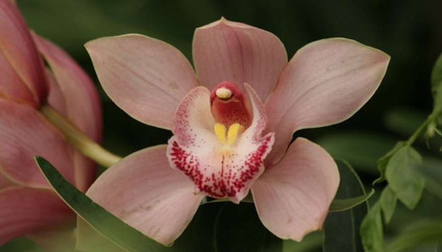 Orchids add an exotic look to the home or garden.