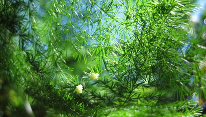 Asparagus fern produces tiny white flowers