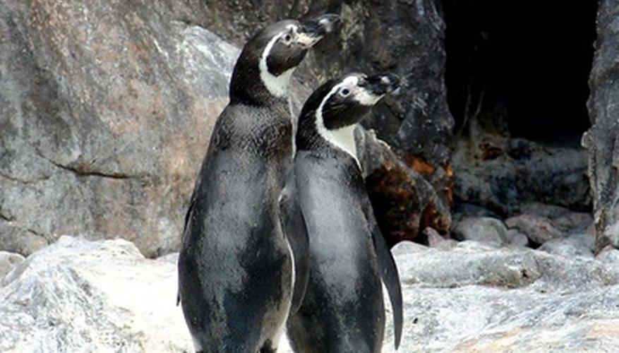 Los pingüinos cuidan de sus crías de forma asombrosa.